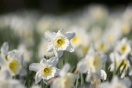 Daffodil isolated against a blurred background of daffodils. Stock Photo - 3019859