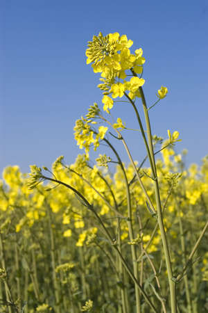 Oilseed Rape plants against a brilliant blue sky Stock Photo - 3019858