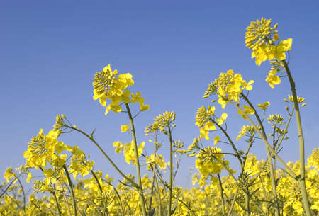 Oilseed Rape plants against a brilliant blue sky with room for copy. Stock Photo