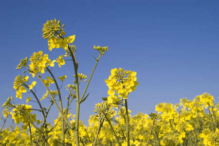 oilseed: Oilseed Rape crop against a brilliant blue sky with room for copy