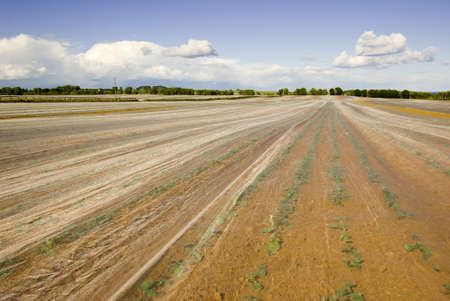 Crops warming beneath a fleece material in a Scottish field. Stock Photo - 3213526