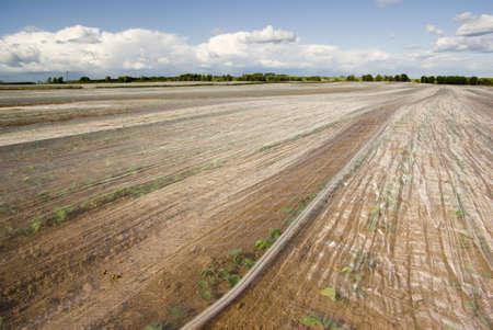 Crops warming beneath fleece material in a Scottish field. Stock Photo - 3213527