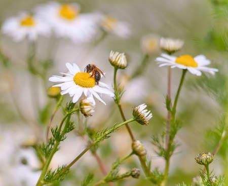 Honey bee gathering pollen on a wild daisy. Stock Photo - 12420592