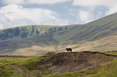 Lone cow standing on a hillock in the midst of a Scottish highland scene. Stock Photo