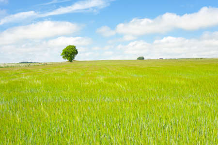 Tree in full leaf standing prominently behind a brilliant green field of cornmaize. Stock Photo