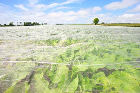 Crops growing beneath a warming fleece mesh in Scotland.