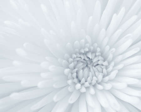 Blue-toned black and white close-up of chrysanthemum  Stock Photo