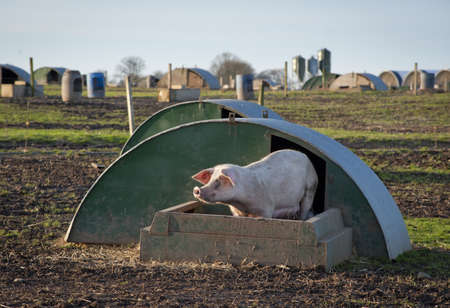 A pig at its Stock Photo - 12420814