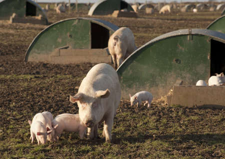 Pig being farmed under high health conditions in Angus, Scotland.
