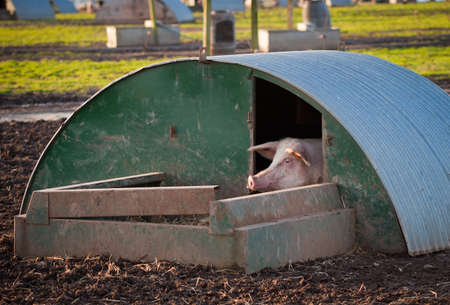 A pig peeking out of its home at a high health farm in Angus, Scotland.