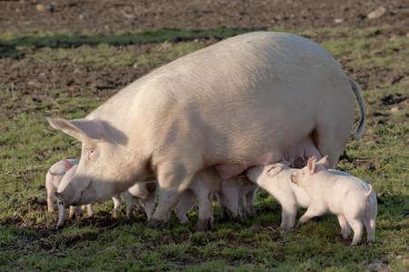 Lattonzoli di alimentazione in una fattoria di suini di alta salute in Angus, Scozia.