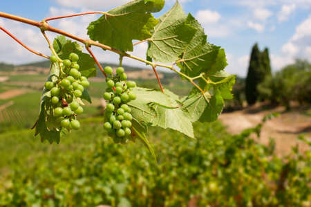 Bunches of grapes ripening in the South of France sunshine. Stock Photo - 12420820