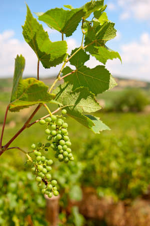 Bunches of grapes ripening in the South of France sunshine. Stock Photo - 12420818