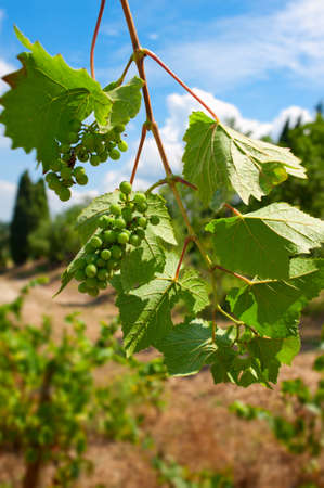 Bunches of grapes ripening in the South of France sunshine. Stock Photo - 12420819