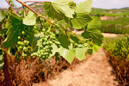 Bunches of grapes ripening in the South of France. Stock Photo - 12420821