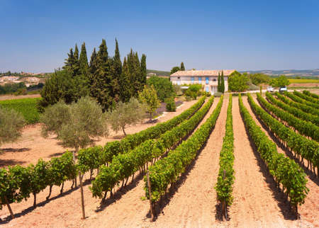 Sun-kissed vineyard in the Languedoc-Rousillon region in the South of France. Stock Photo