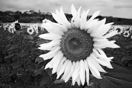 Large sunflower head standing out against a field of sunflowers in high contrast black and white.