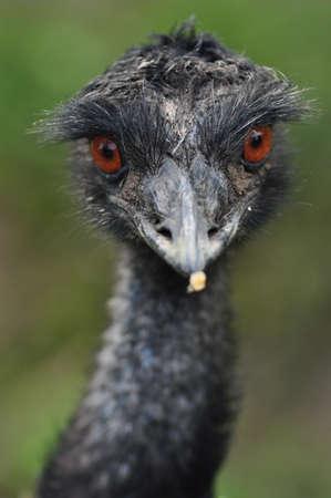 emu bird: Emu Stock Photo