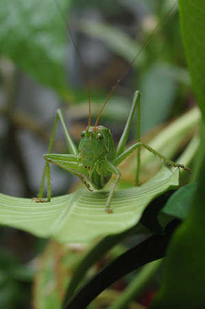 predatory insect: Face view of green grasshopper.
