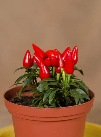bush pepper: Chilli pepper