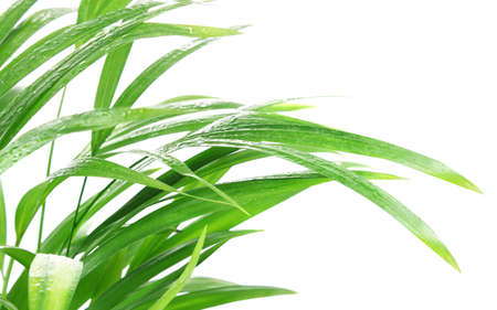 tropical plant after rain isolated on white background photo