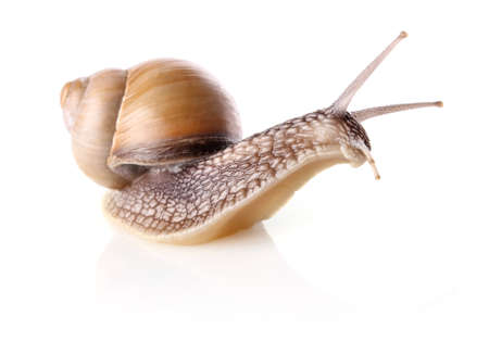 mucus: garden snail (Helix aspersa) isolated on white background Stock Photo