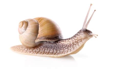 garden snail (Helix aspersa) isolated on white background Stock Photo