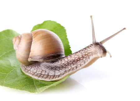 garden snail (Helix aspersa) on green leaf isolated white background Stock Photo