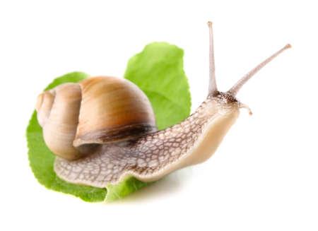 slowly: garden snail  Helix aspersa  on green leaf isolated white background Stock Photo