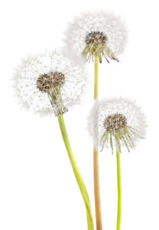 Blown dandelion isolated on white background