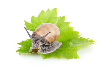 mollusc: garden snail  Helix aspersa  on green leaf isolated white background Stock Photo