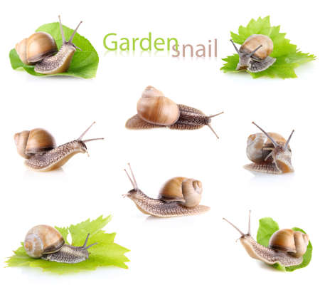 set garden snail  Helix aspersa  isolated on white background