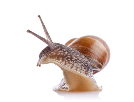garden snail (Helix aspersa) isolated on white background Stock Photo