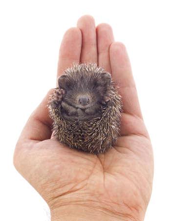 Hedgehog baby on palm isolated on white background photo