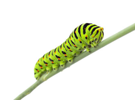 Machaon caterpillar on dill. Isolated on white background Stock Photo