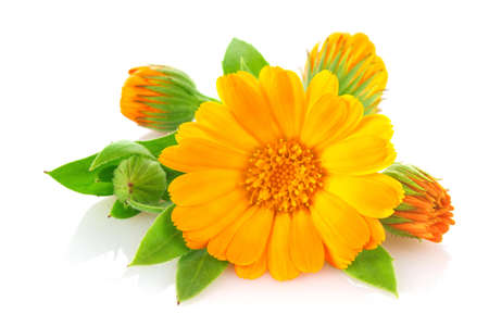 Flowers of calendula with green leaves, isolated on white background.