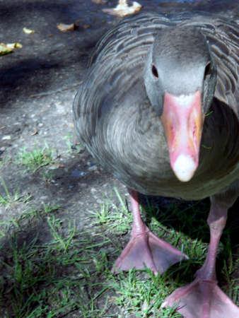 anser: portrait of proud Greylag goose (Anser Anser)