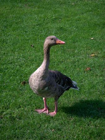 portrait of Greylag goose (Anser Anser) photo