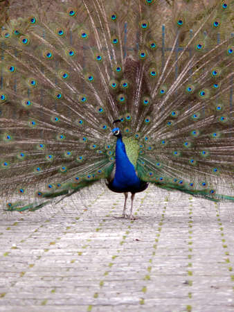 Portrait of peacock detailed view and path