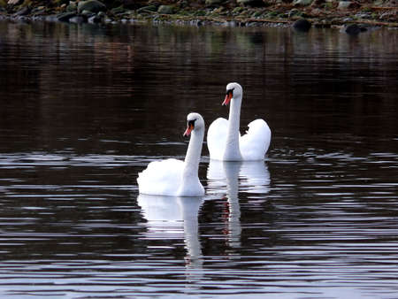 portrait of beautiful swan swim in calm water Stock Photo - 817834