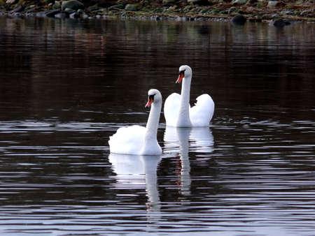 portrait of beautiful swan swim in calm water Reklamní fotografie