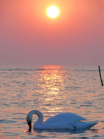 portrait of swan in beautiful sunset at spring time