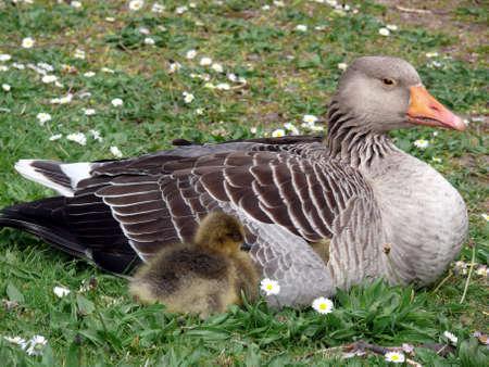 portrait de white-fronted Goose (Anser albifrons)