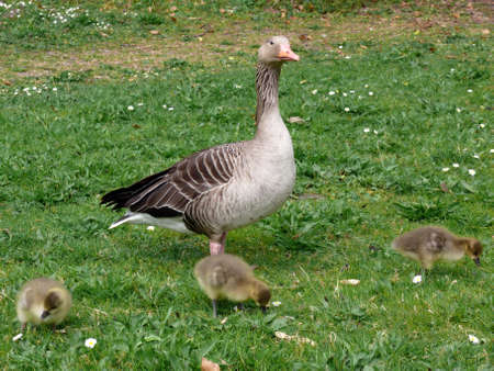 portrait of white-fronted goose (Anser albifrons) Reklamní fotografie - 908003