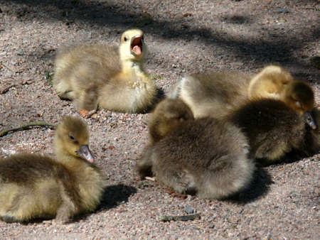 white fronted goose: portrait of white-fronted goose (Anser albifrons) goslings