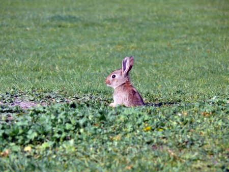 portrait of wild rabbit looking out from hole in grass the ground photo