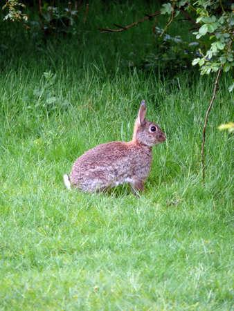 portrait of wild rabbit in green grass photo