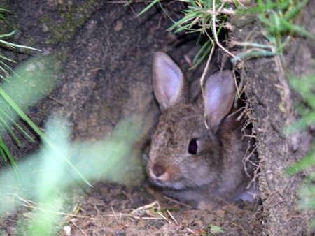 portret van wild konijn die uit gat