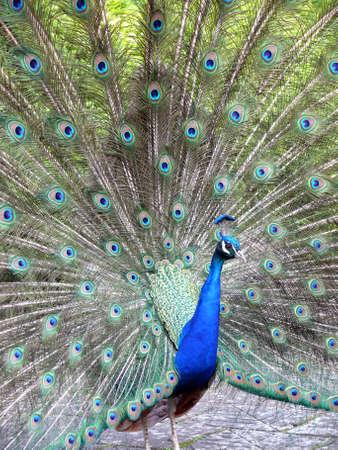close-up portrait of beautiful peacock  photo