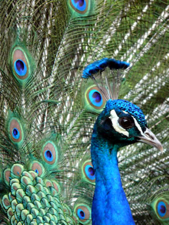 phasianidae: close-up portrait of beautiful peacock  Stock Photo